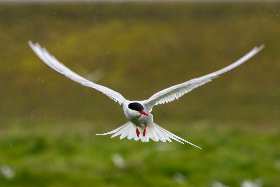 An Arctic Tern is hovering over the nesting colony in southeast Iceland