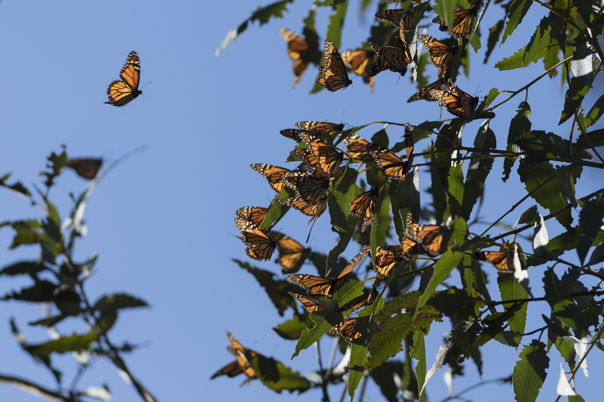 Thousands of monarch butterflies cluster on eucalyptus tree limbs at Ardenwood Historic Farm in Fremont, California