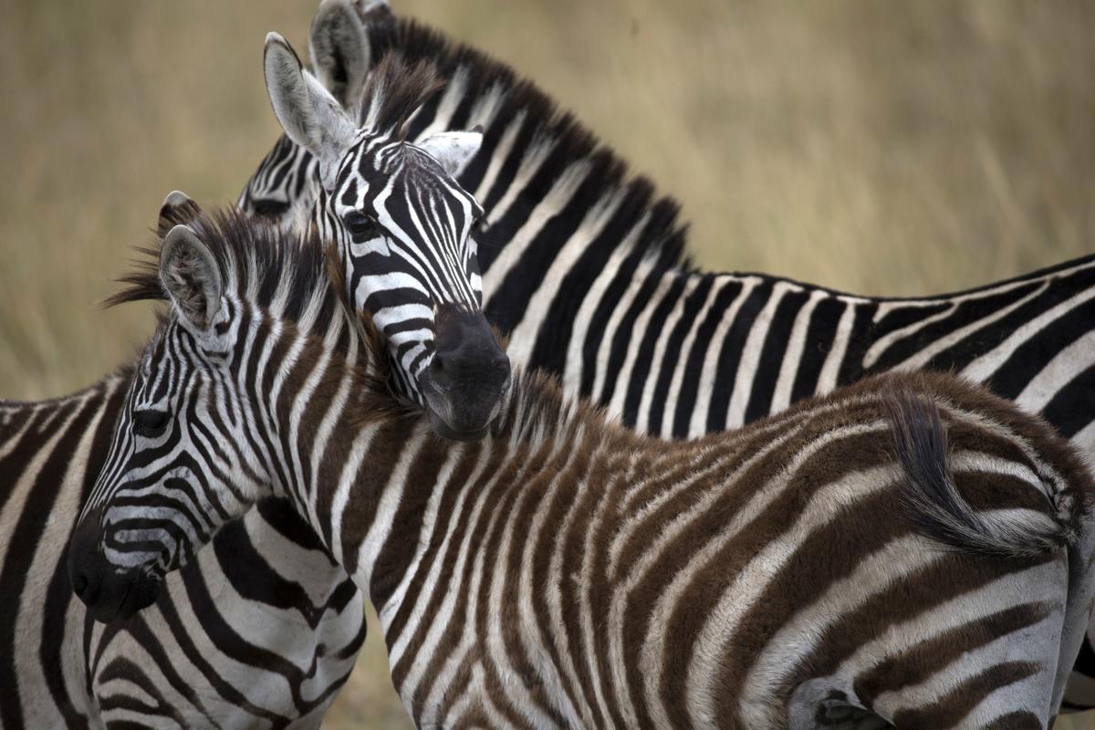 Group of Zebras at savanna in Kenya.