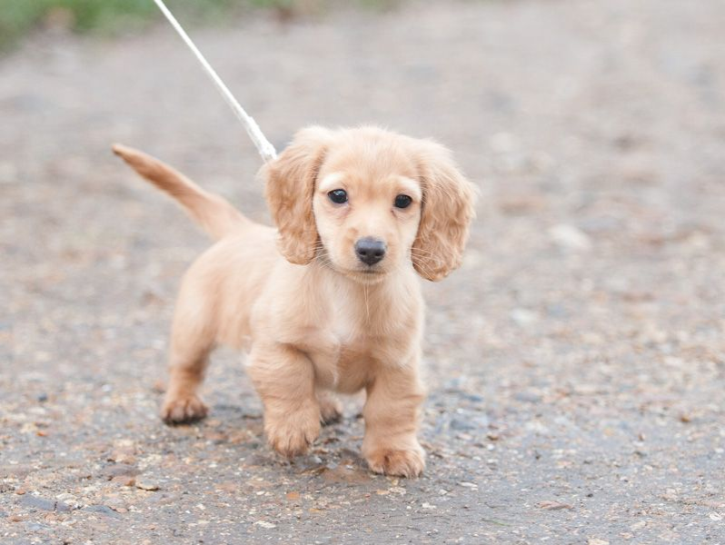 A Goldan Dach being walked with a leash