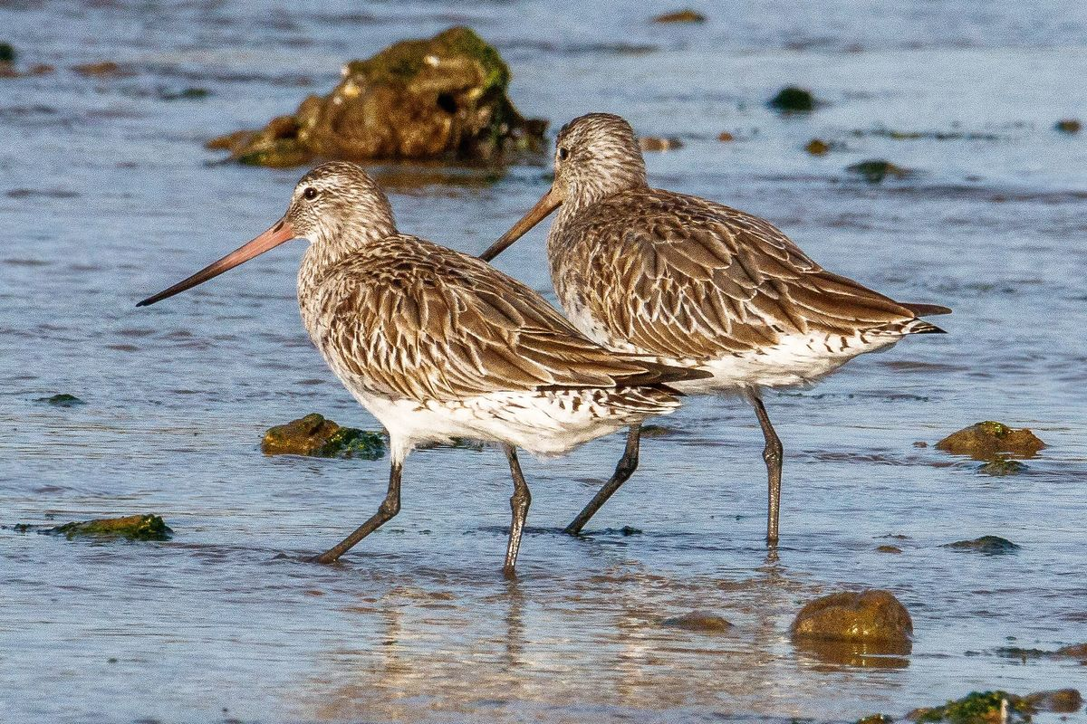 Alaskan bar-tailed godwits walk along the sea shore