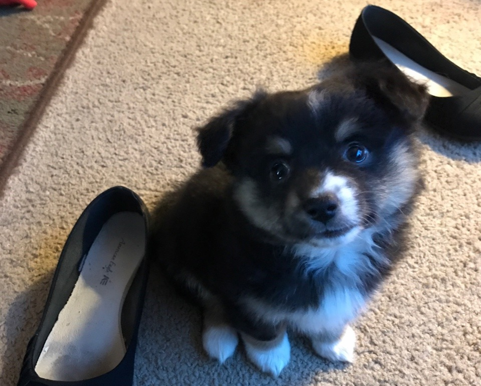 An Aussie-Corgi pup size comparison with shoes