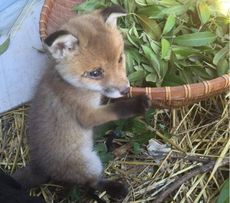 Baby fox kit on an Australian farmers property