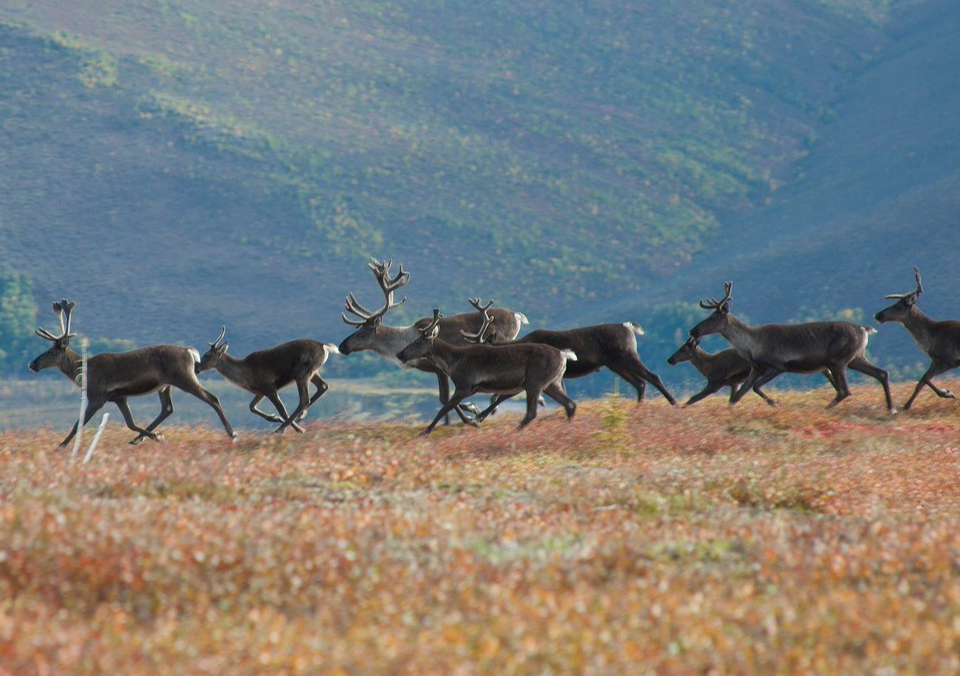 Caribou migrate over 3000 miles every year, the longest of any land mammal