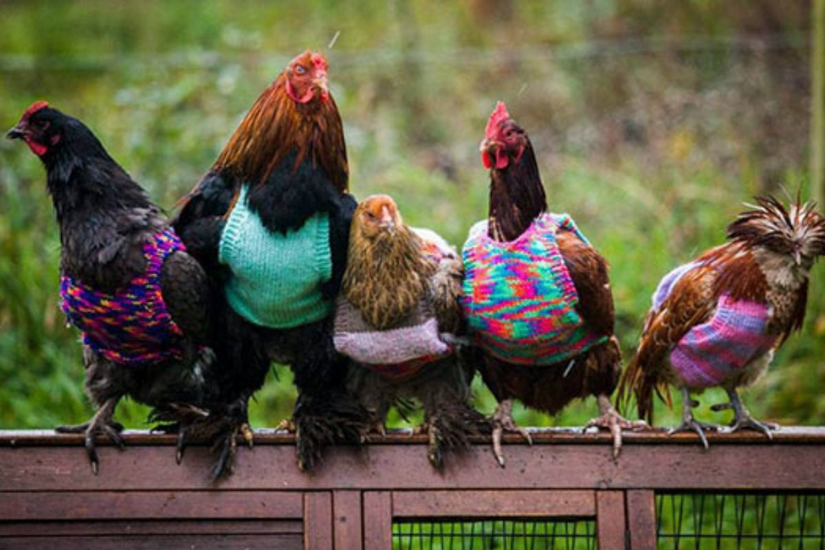 Chicken in Sweaters