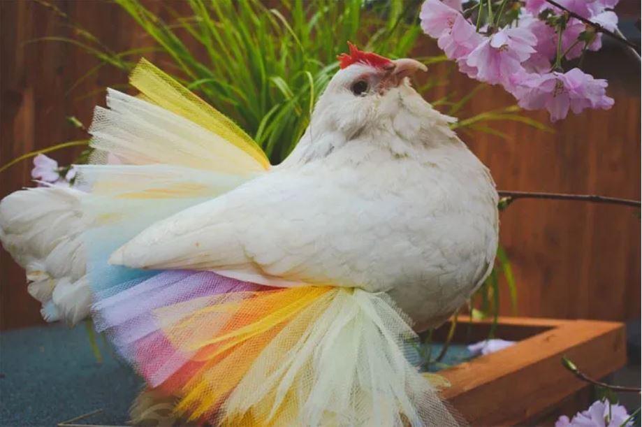 Dora the chicken in a pastel rainbow tutu