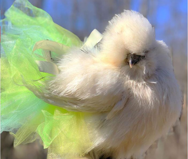 Dorinda the chicken in a green and yellow tutu with feathers blowing in the wind