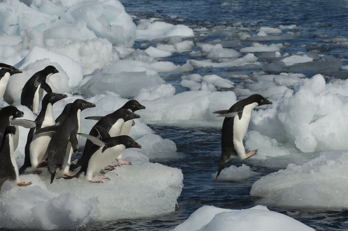 A group of Adelie penguins jumping from ice pebble to ice pebble on a beach on the tip of the Antarctic Peninsula.