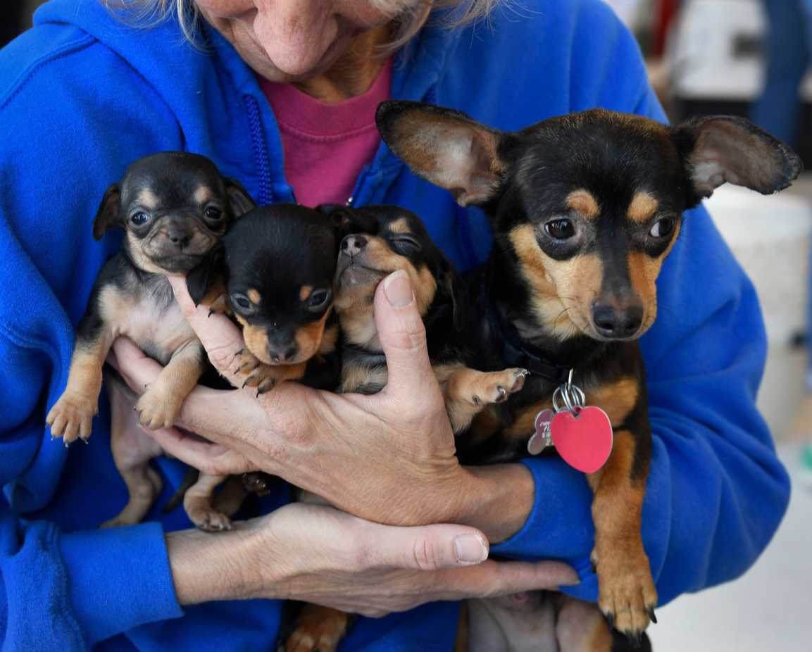 Woman holds a Chiweenie mom and her three puppies