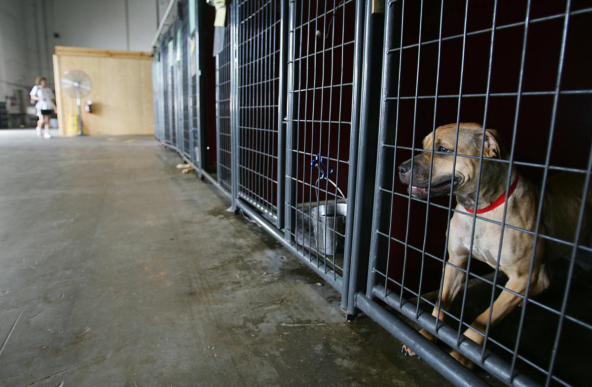 a female Pit Bull mix waits to be adopted at the Louisiana Society for the Prevention of Cruelty to Animals