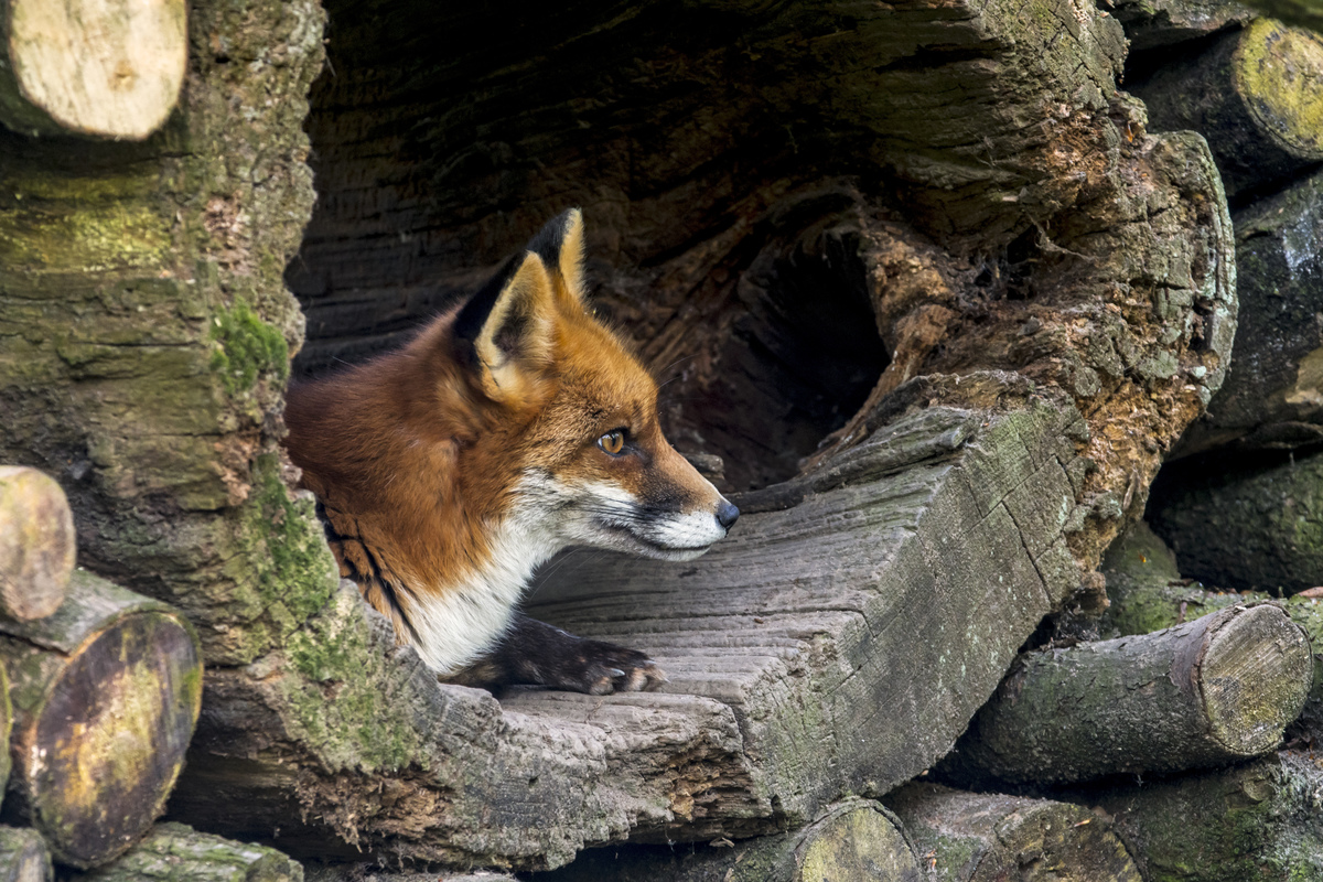 Red fox (Vulpes vulpes) resting in hollow tree trunk in woodpile in forest.