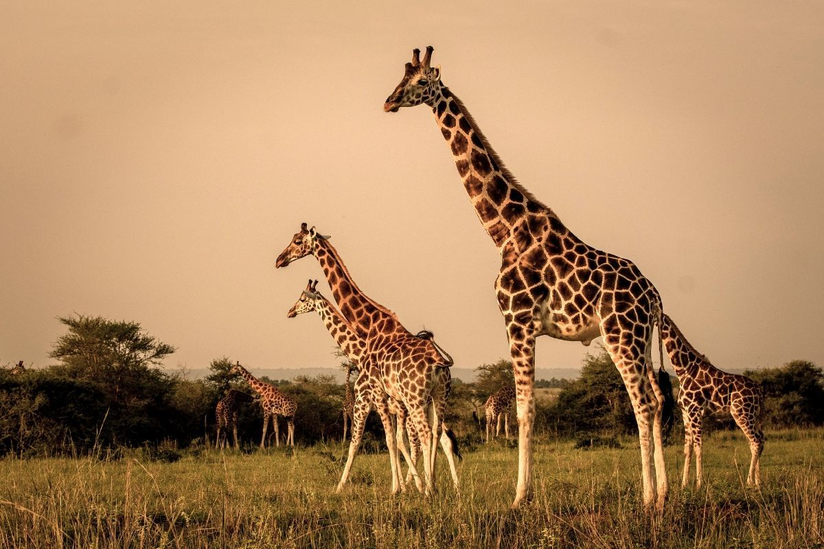 Giraffes are seen at Murchison Falls National Park  in Pakwach, Uganda.