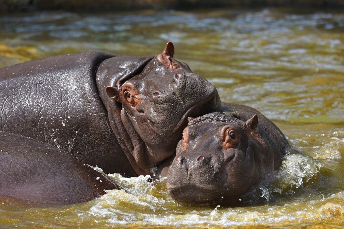 two Hippos swimming