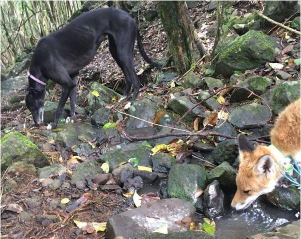 Izzy the greyhound and Willa the fox in a forest