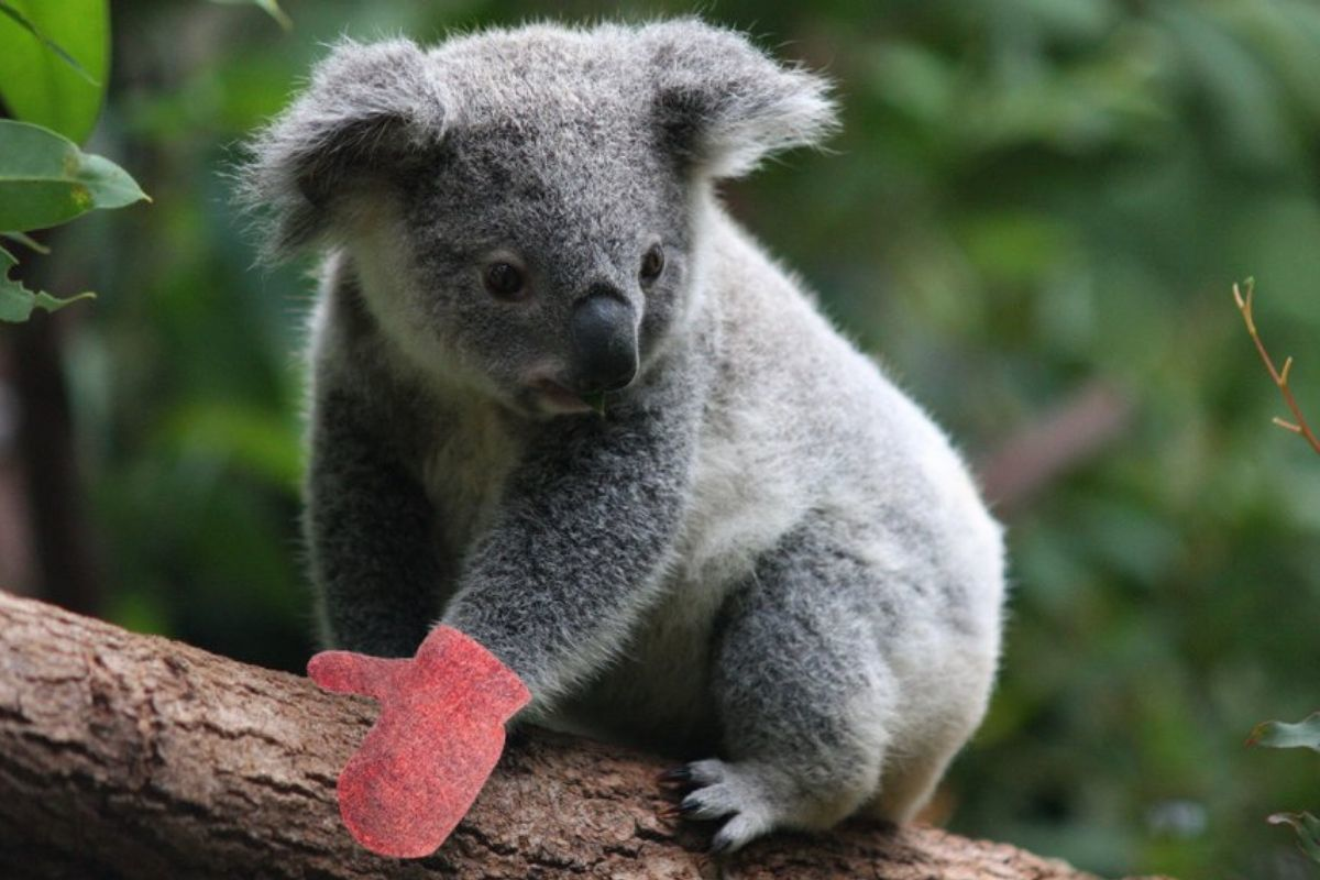 Koala with mittens on tree branch