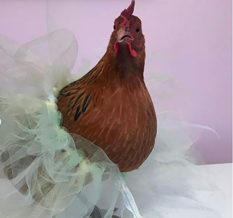 Lucy the chicken in an icy blue ballerina tutu larger copy