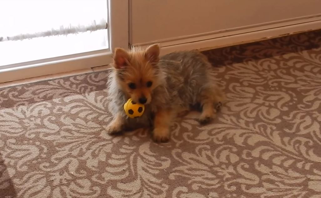 Ozzie the Yokie-Pom playing with a ball on Youtube