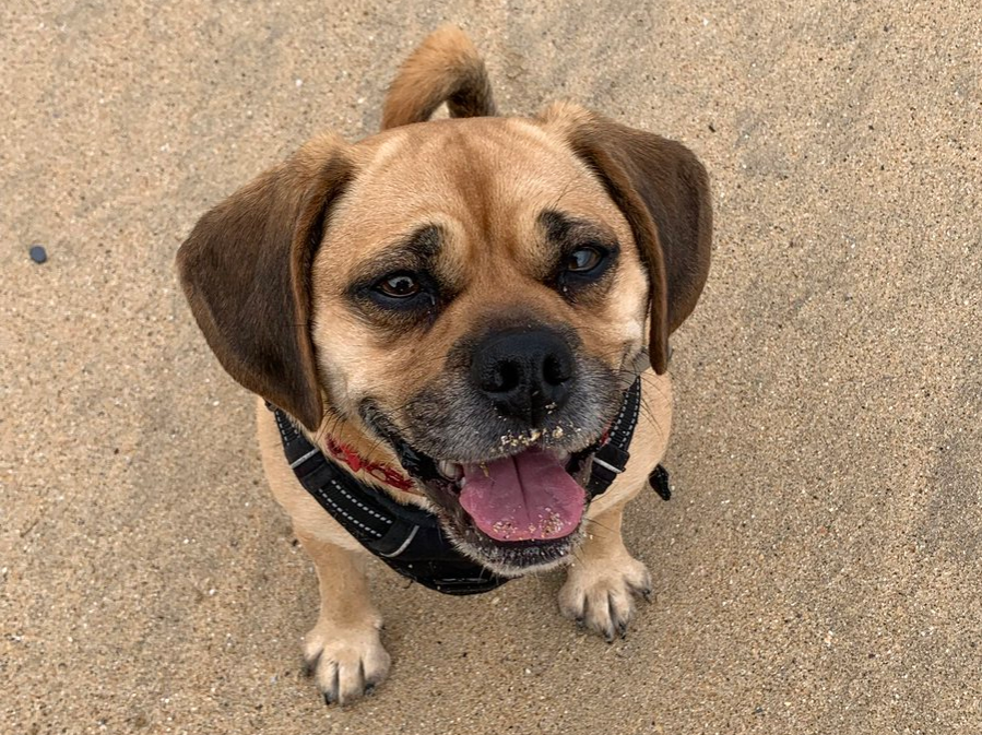 Pippa the Puggle smiling at the beach