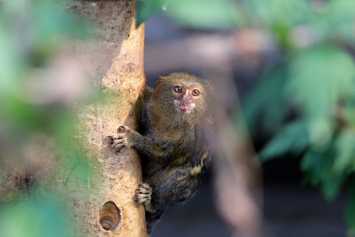 Pygmy Marmoset climbing on a tree