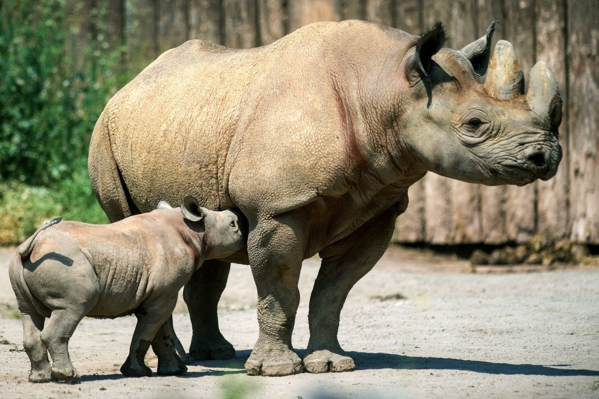 A  small black rhino bull stands with its mother in the free enclosure of a zoo.