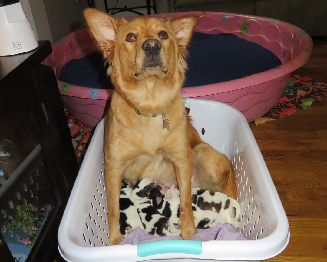 Rosie-with-her-pups-in-a-laundry-basket-40025