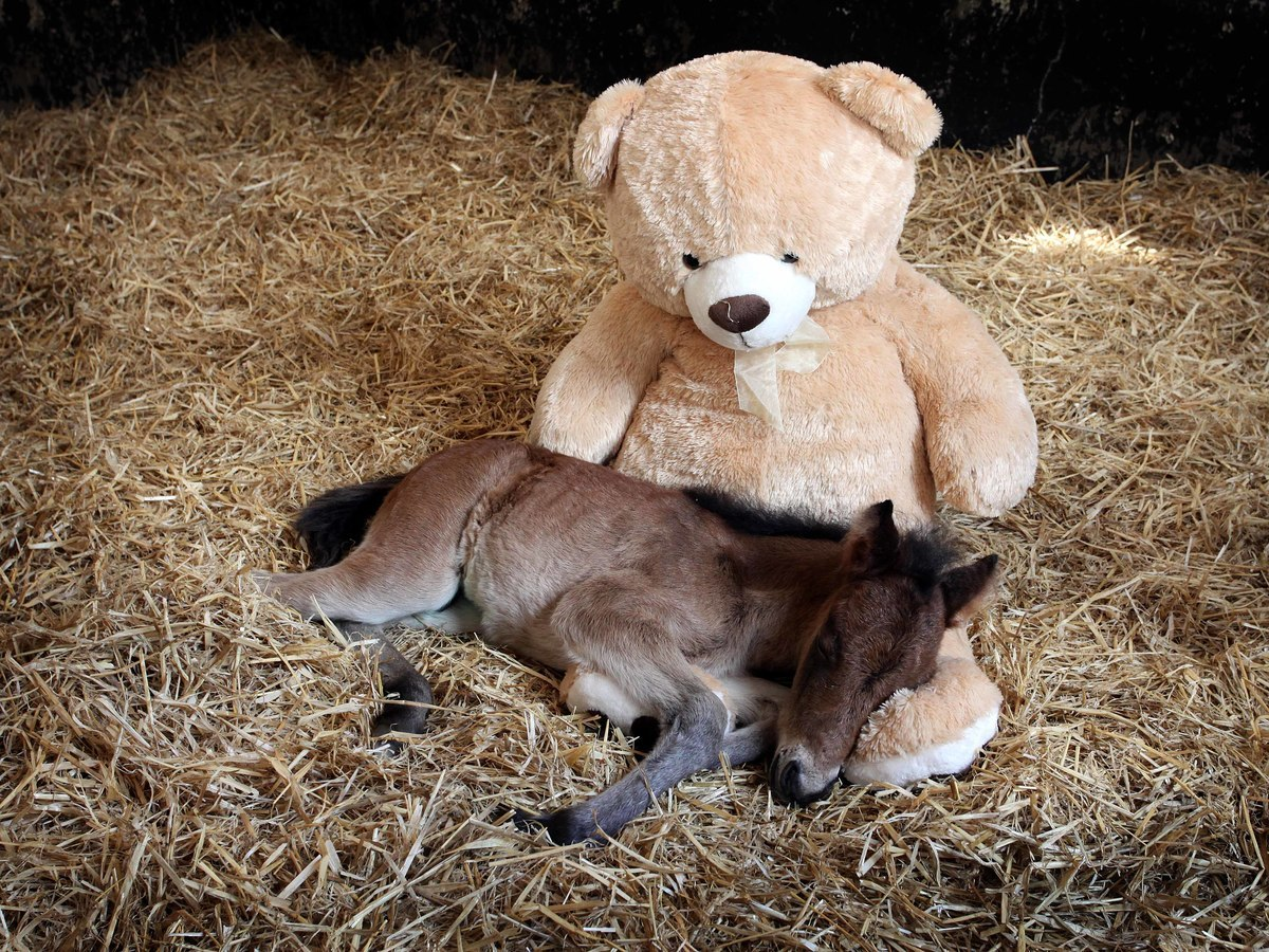 An orphaned Dartmoor Hill Pony called Breeze snuggles up with a teddy bear at the Mare and Foal Sanctuary in Newton Abbot, Devon.