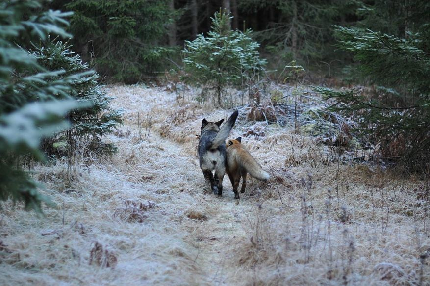 Sniffer and Tinni walking through a forest in Norway