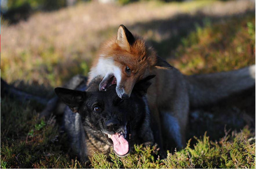 Sniffer and Tinni wrestling in a field