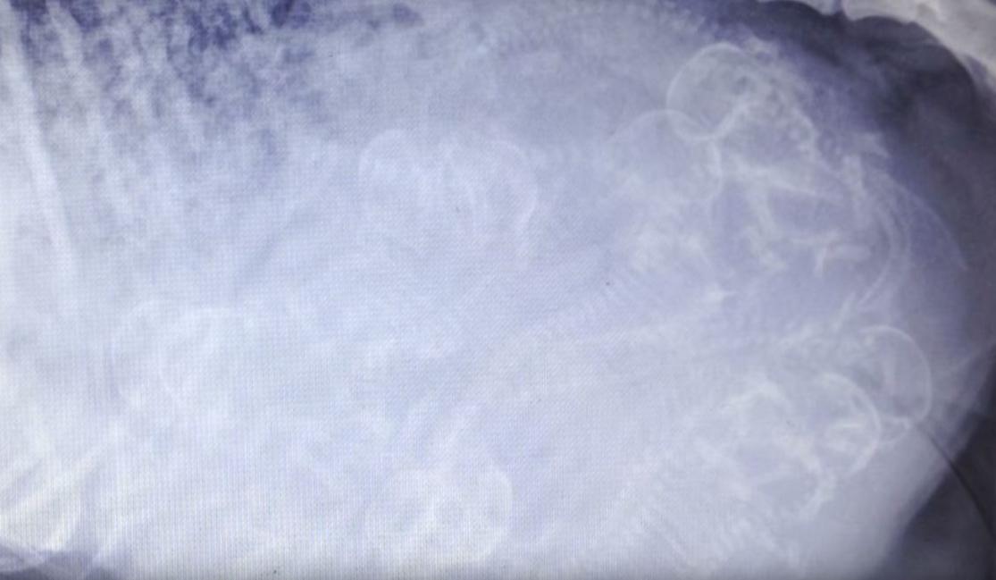 Storie's ultrasound illustrating 12 unborn pups