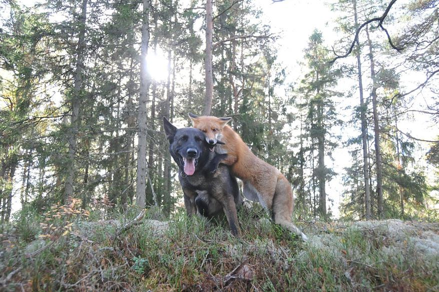 Tinni the german shepherd and Sniffer the fox playing in a forest