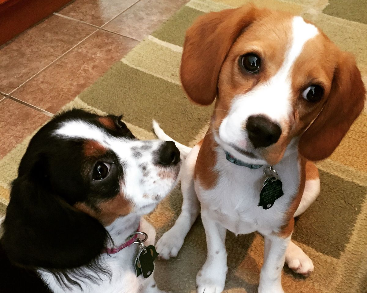 Two Beagle and Cavalier King Charles Spaniel mixes