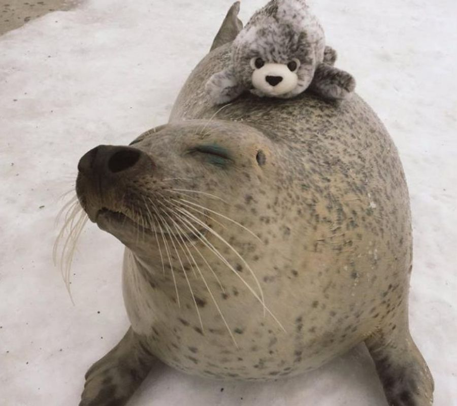 seal with stuffed animal hugging eyes closed looking content