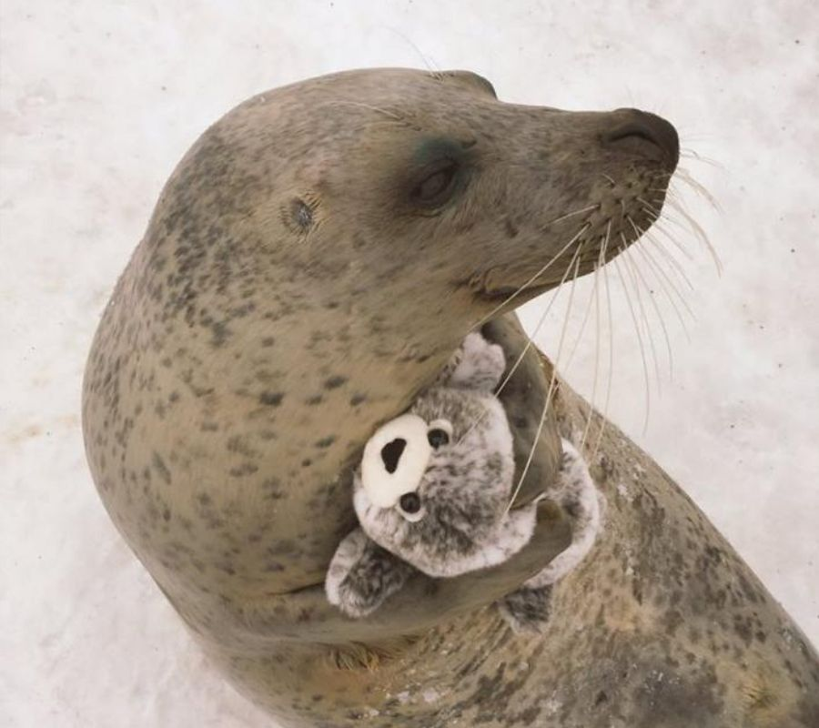 seal with stuffed animal version of itself hugging it
