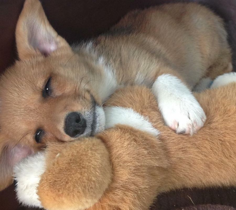corgi cuddling stuffed animal cute sleeping