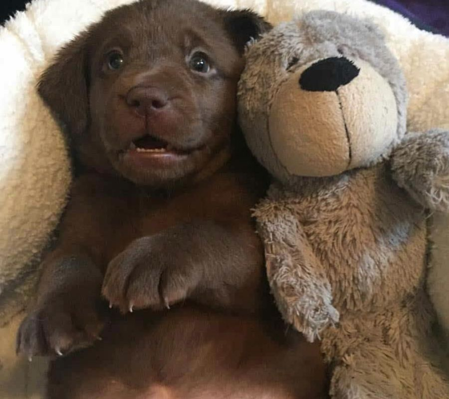 puppy with its stuffed animal bear adorable looking at camera