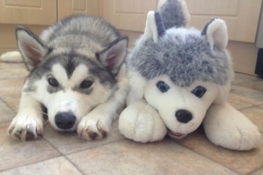 husky with husky doll cute