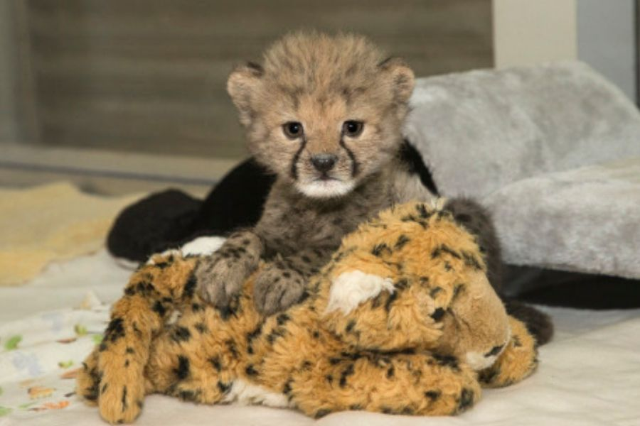 cheetah with cheetah stuffed animal