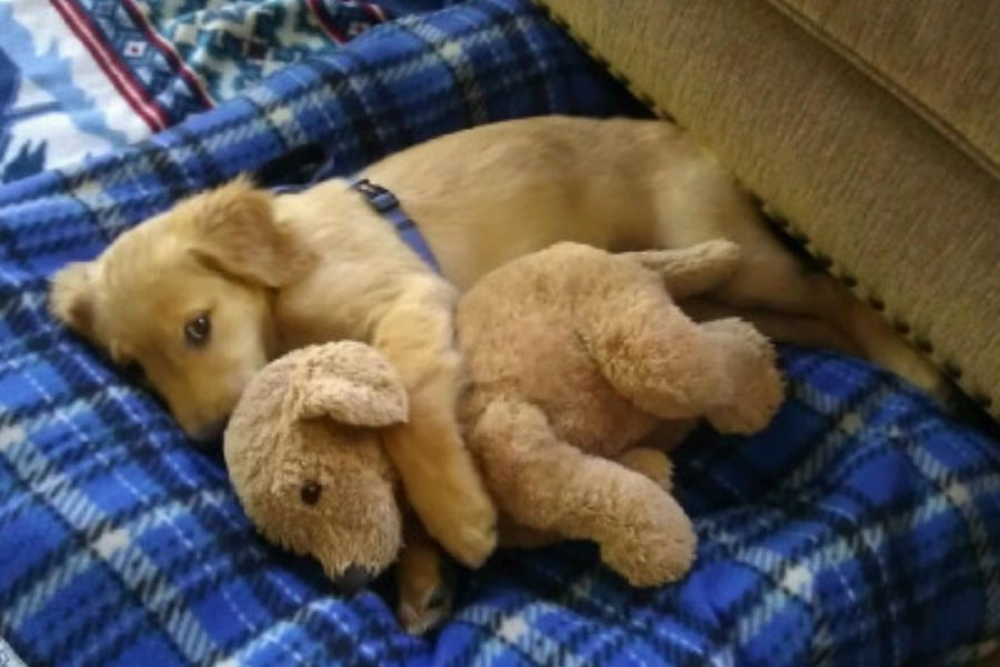 golden retriever puppy with little version of itself