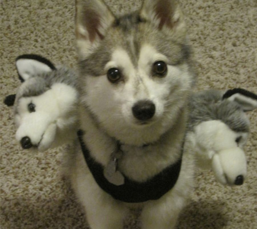 husky with three huskies stuffed