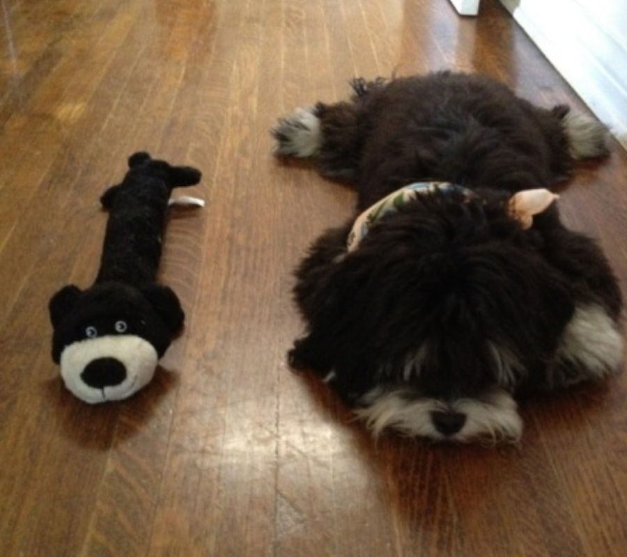 long body dog laying on floor with stuffed animal
