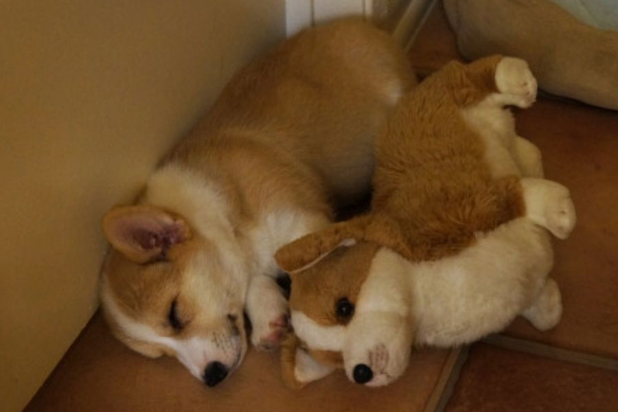 corgi with mini corgi stuffed animal version
