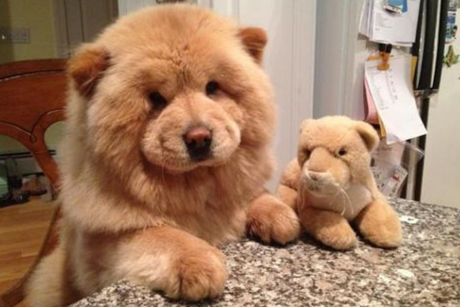 chow chow with lion toy