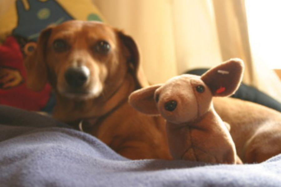 dachshund with stuffed animal version of itself