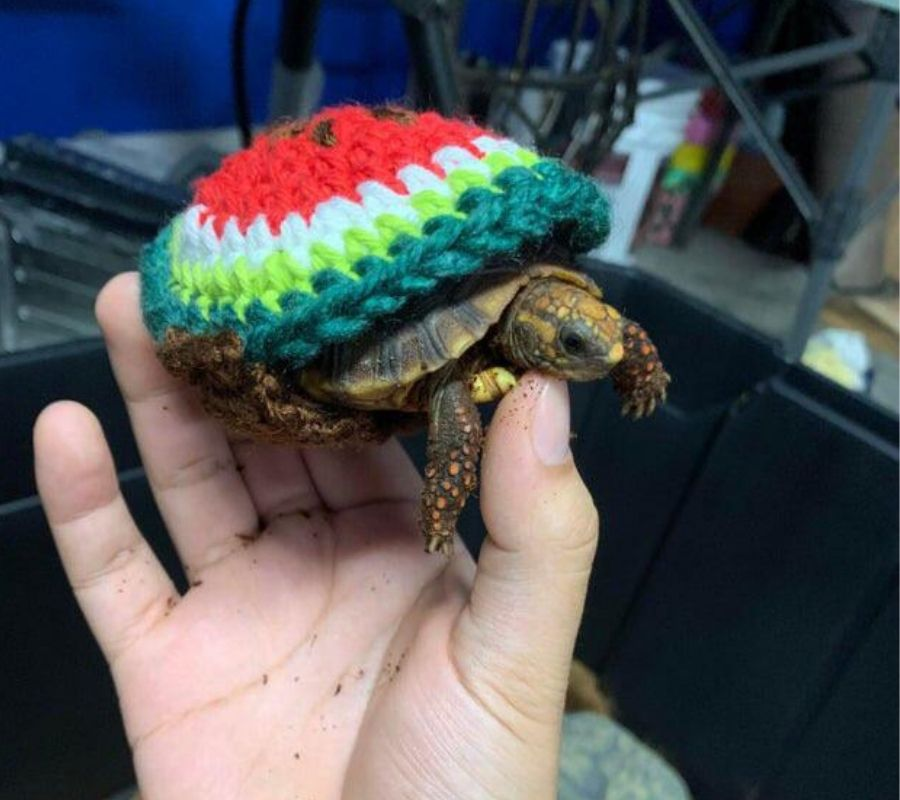tortise in a little sweater water melon design on the back