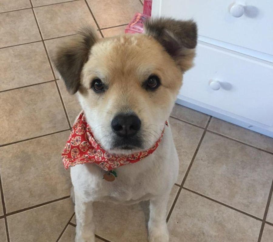 dog with a bandana looking at camera super cute