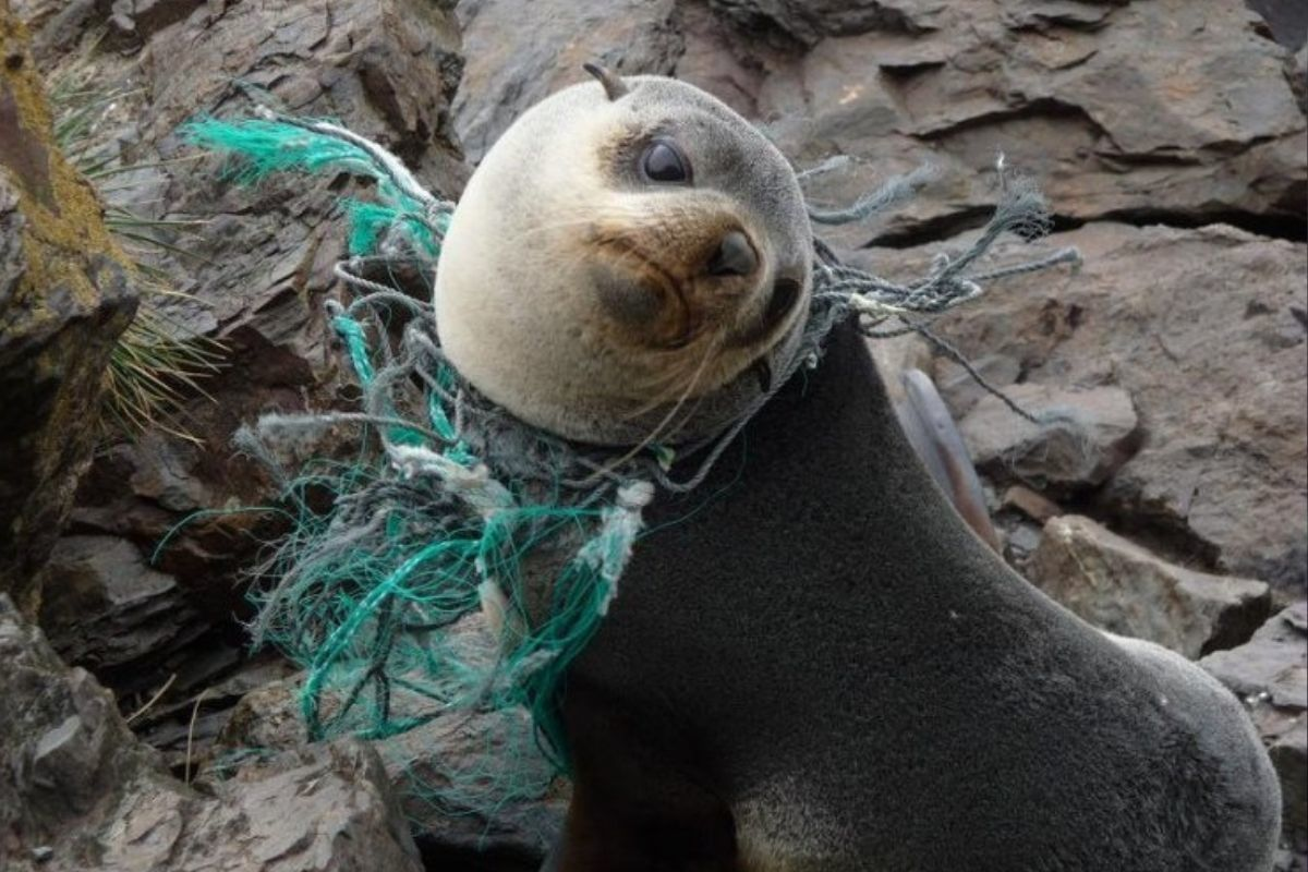 seal with plastic around its neck looking sad at the camera