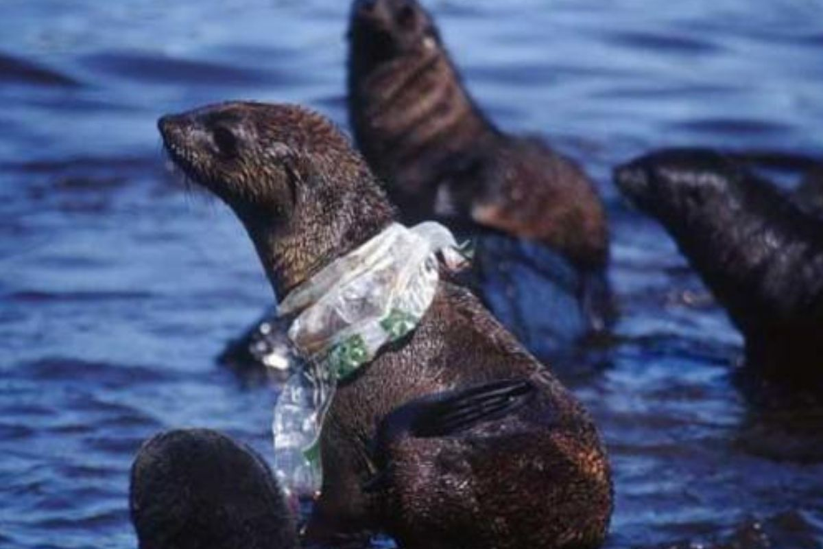 seal with plastic bag around its neck he looks so sad