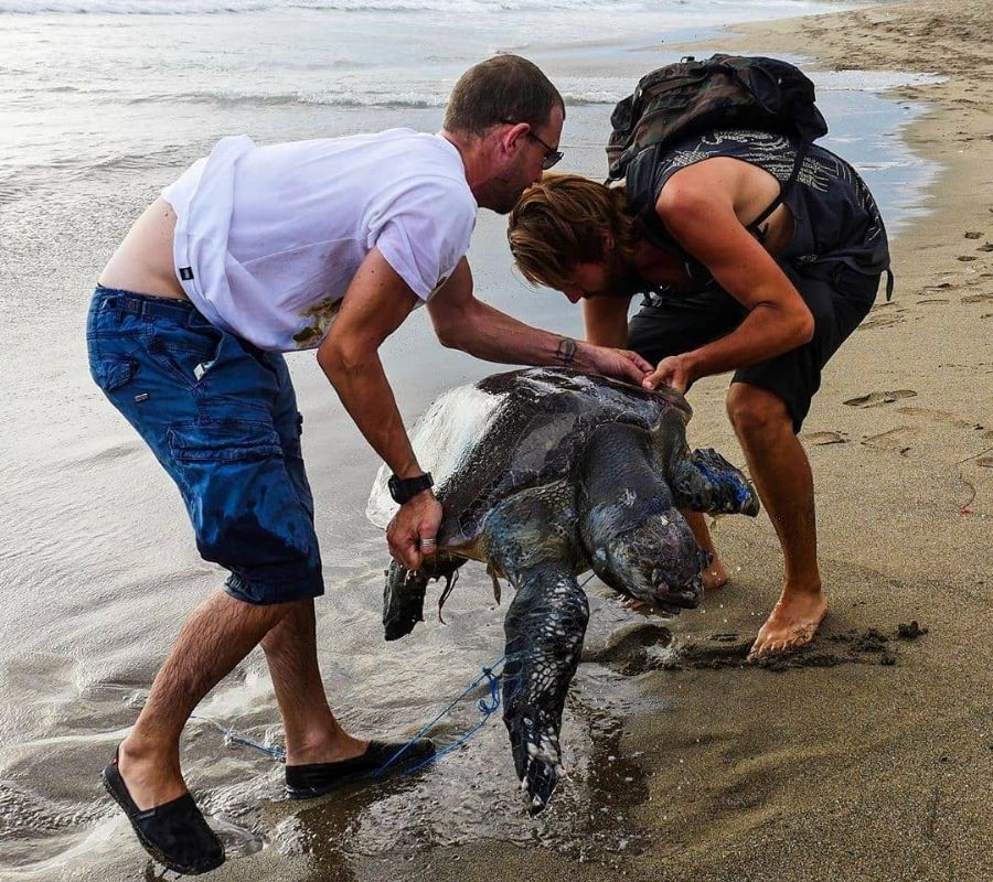 seaturtle with plastic wrapped around its head two guys lift it out of the water