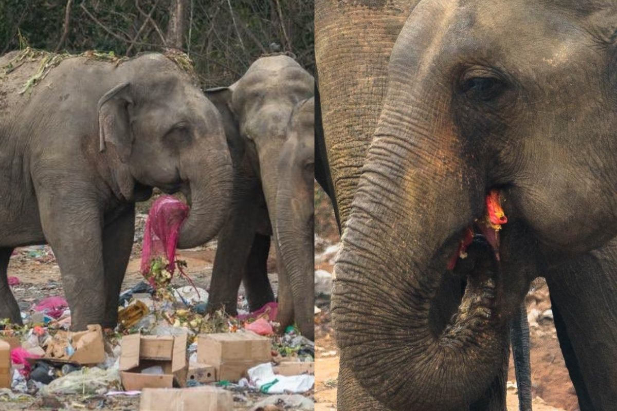 elephants eating garbage because it's everywhere