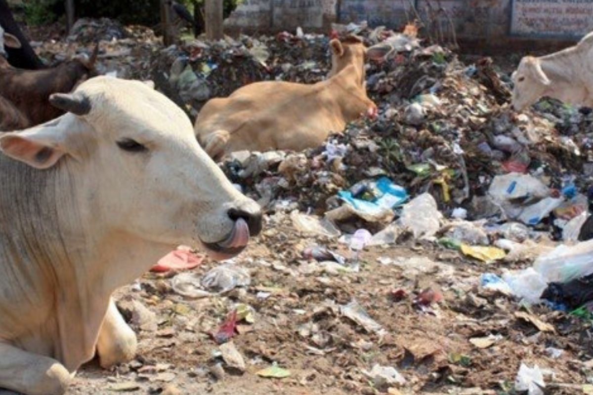 cows laying in garbage nesting in garbage